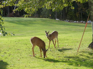 Cobbossee Colony Golf Course Deer